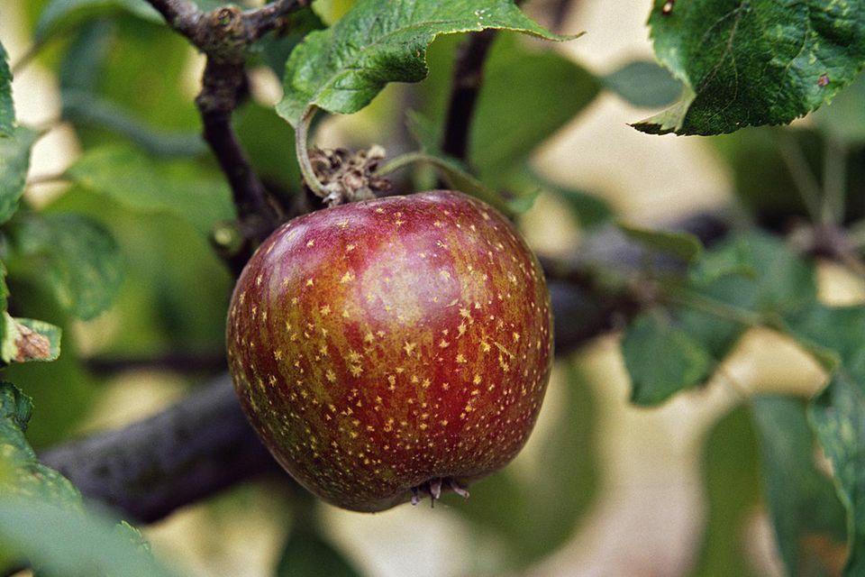 Red McIntosh apple tree