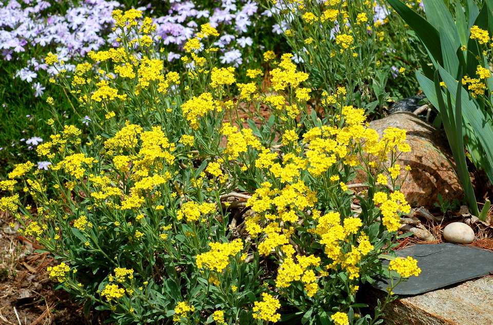 Yellow alyssum (image) is my favorite spring ground cover along with phlox. Both are perennial.