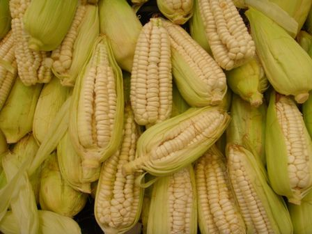 Resultado de imagen para maiz peruano