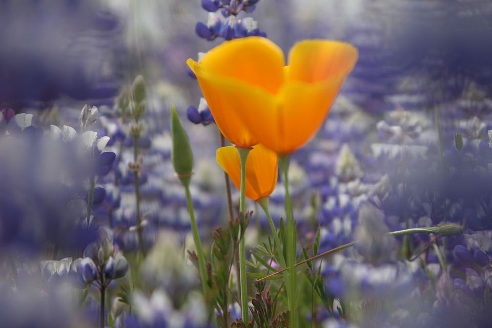 California facts fun things to know about california california state flower golden poppy california poppy and lupines in spring mightylinksfo Gallery