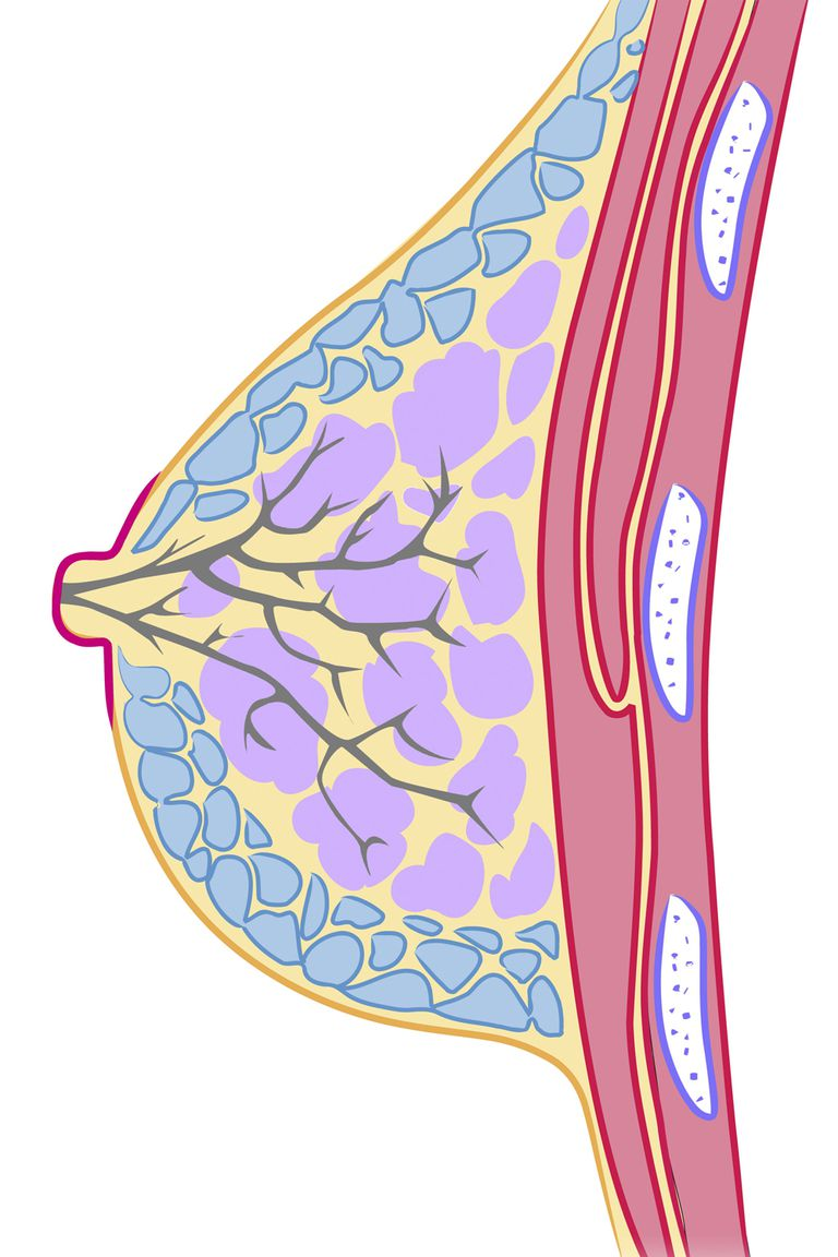 An illustration of a female breast.
