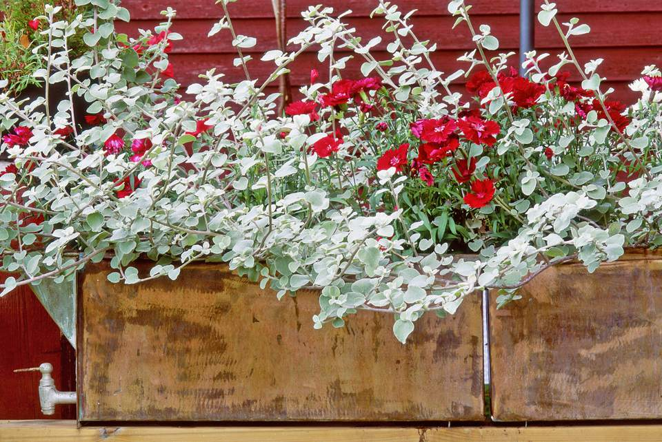 Licorice Plant with Red Dianthus