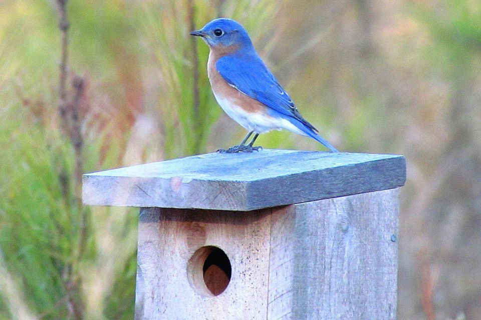 Eastern Bluebird on a Bird House