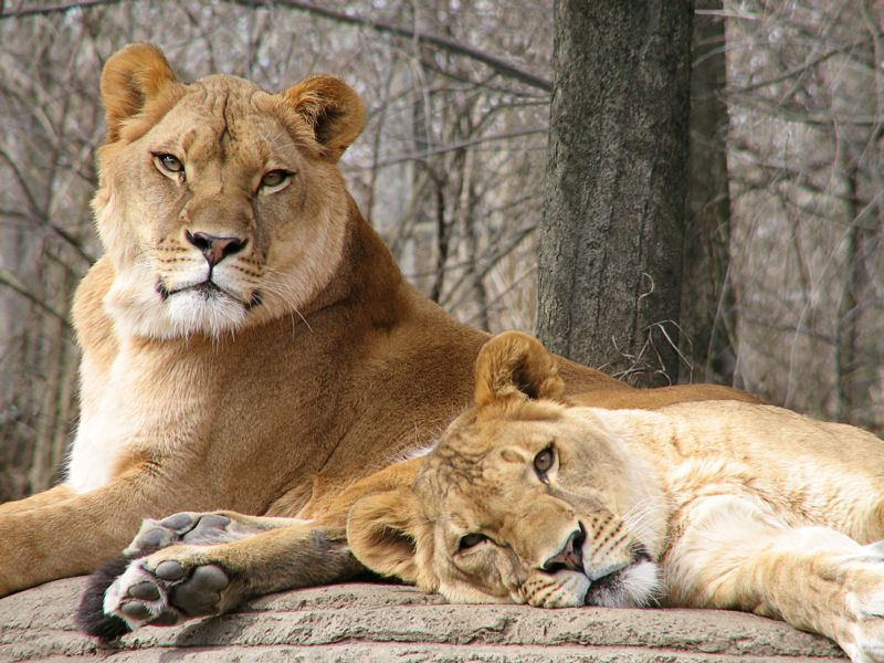Photo of African lions at the Pittsburgh Zoo
