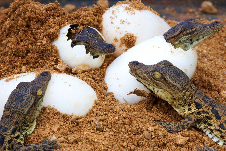 Nile crocodile hatchlings