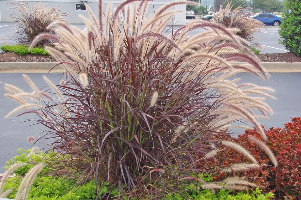 Ornamental Grasses In Containers Ornamental grasses to grow in containers redpurple fountain grass pennisetum setaceum rubrum workwithnaturefo