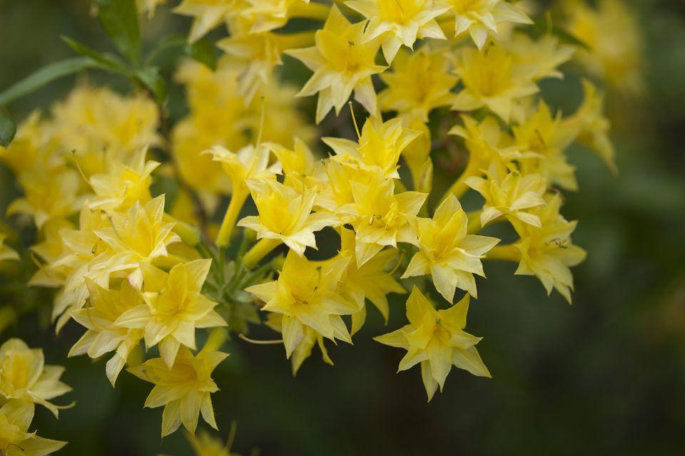 Yellow Flowering Bush Early Spring