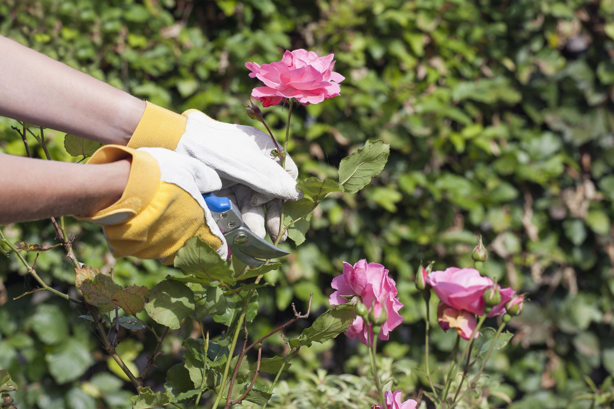 How to trim a rose bush - This Guide To Pruning Will Make Rose Care Much Less Intimidating