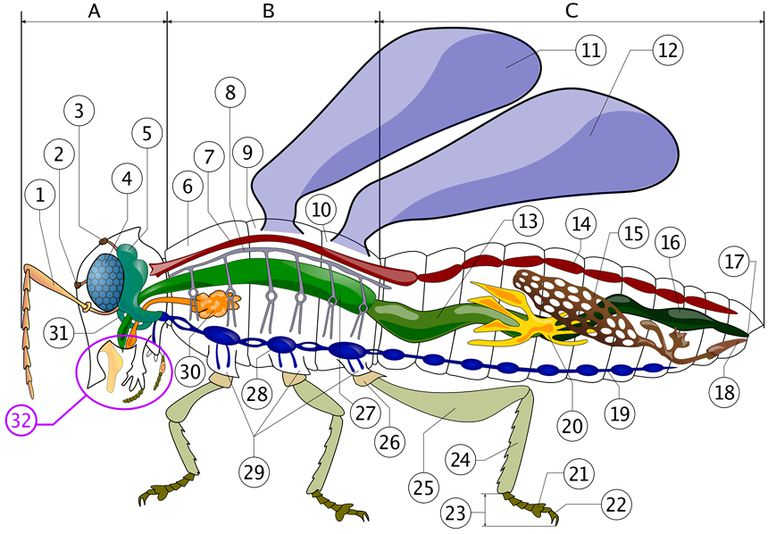 Color diagrams of insect organs and internal structures internal anatomy of an insect illustration courtesy of piotr jaworski creative commons license ccuart Image collections
