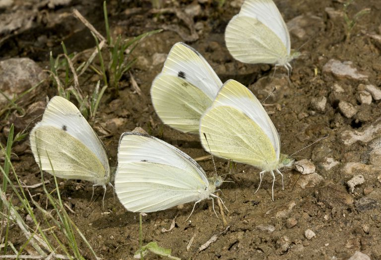 Butterflies on mud puddle.