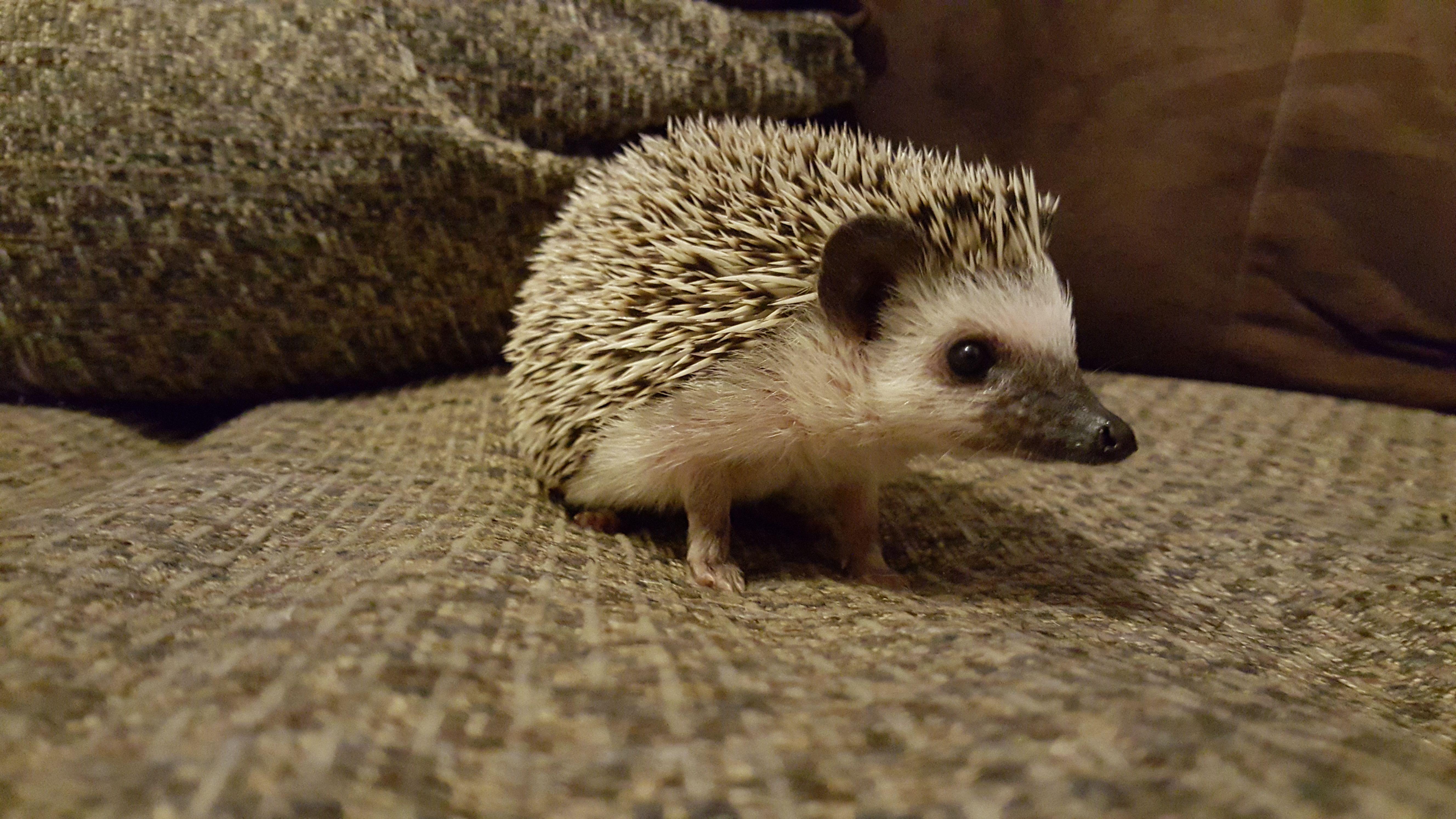5 Common Hedgehog Diseases - Hedgehog Health