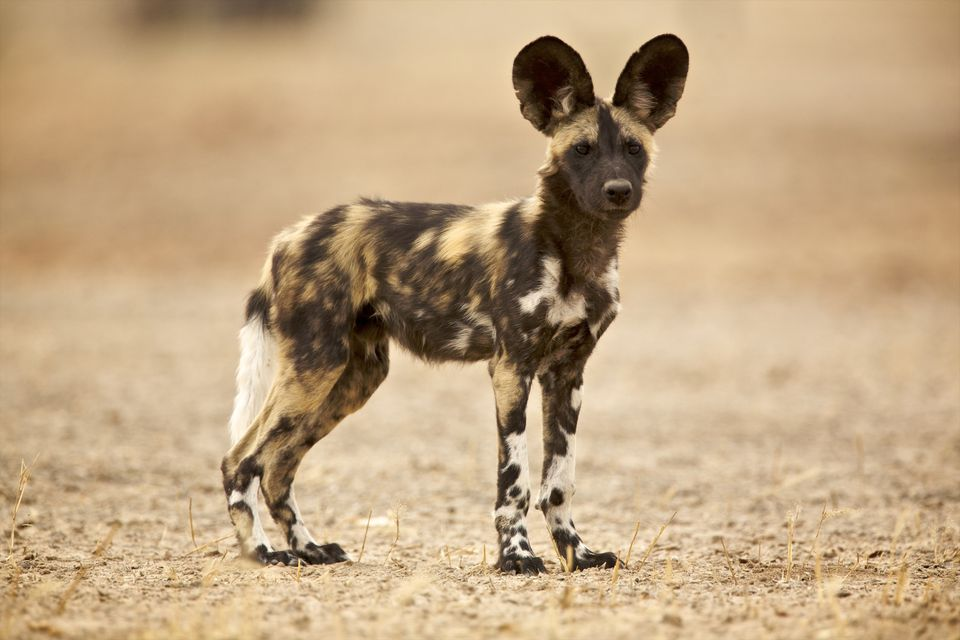 A young African wild dog pup