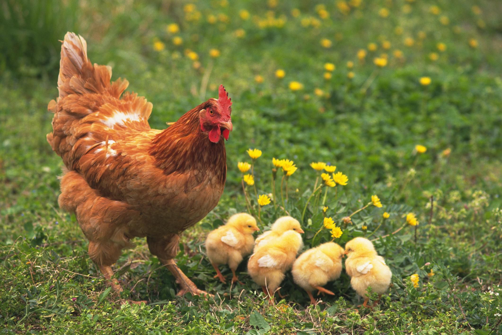 How To Hatch Chicks Naturally With A Broody Hen