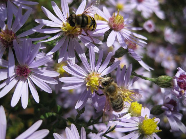Bees Feasting on Aster Flowers