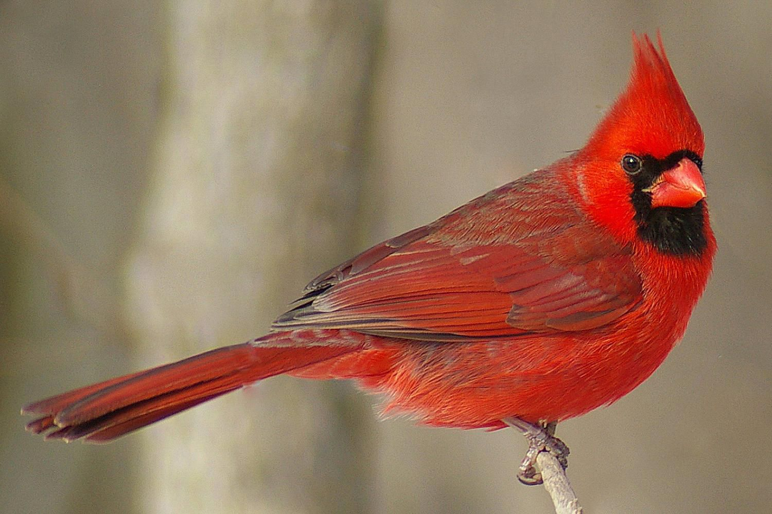 Pictures of red birds from around the globe northern cardinal brilliantly beautiful buycottarizona