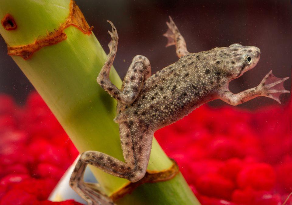 Dwarf clawed frog