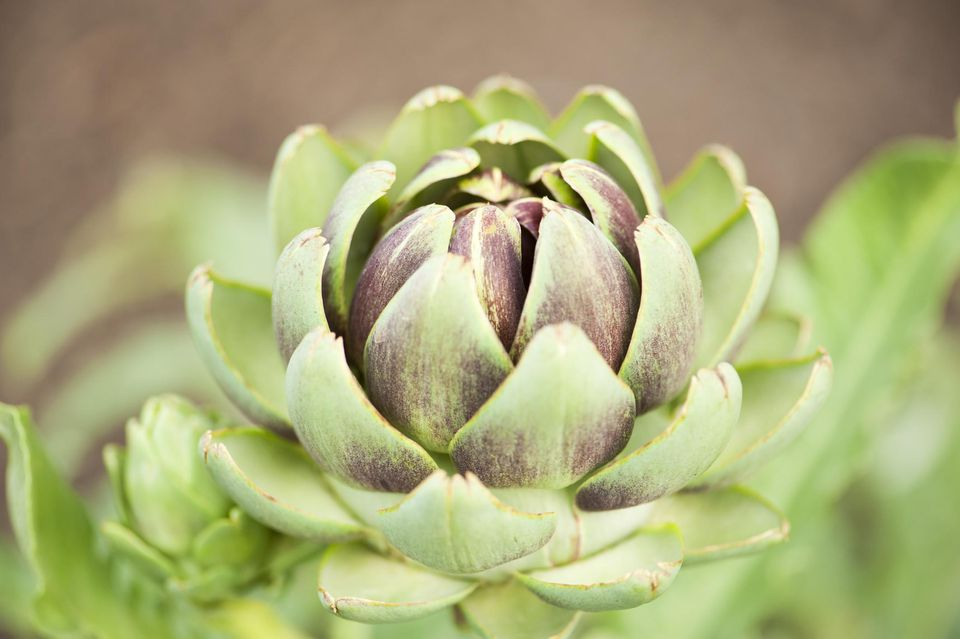 A macro capture of a blooming artichoke in a summer garden bed.
