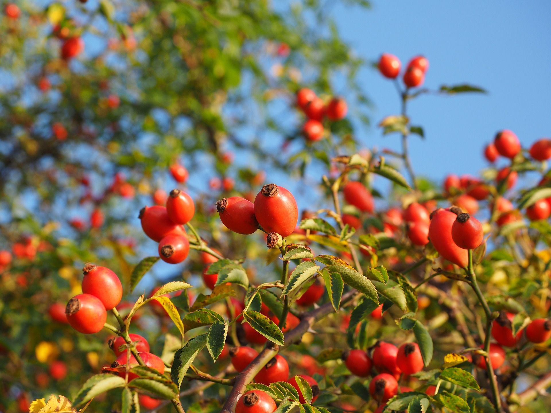Rose Hips What Are They And Can You Do With Them