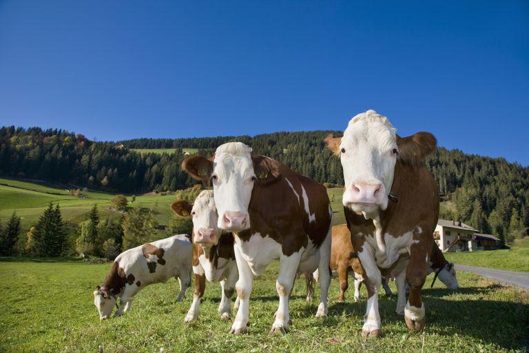 Cows in pasture in Trentino-Alto Adige