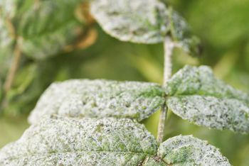 Botrytis Causes Grey Mold Flower Blight