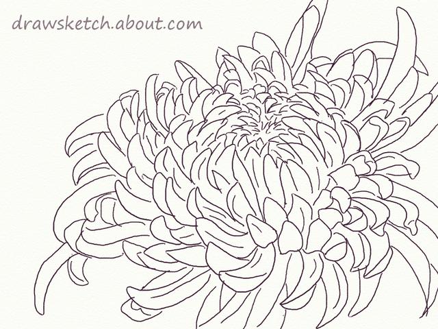 Chrysanthemum Flower Line Drawing : Learn how to draw an ogiku chrysanthemum bloom