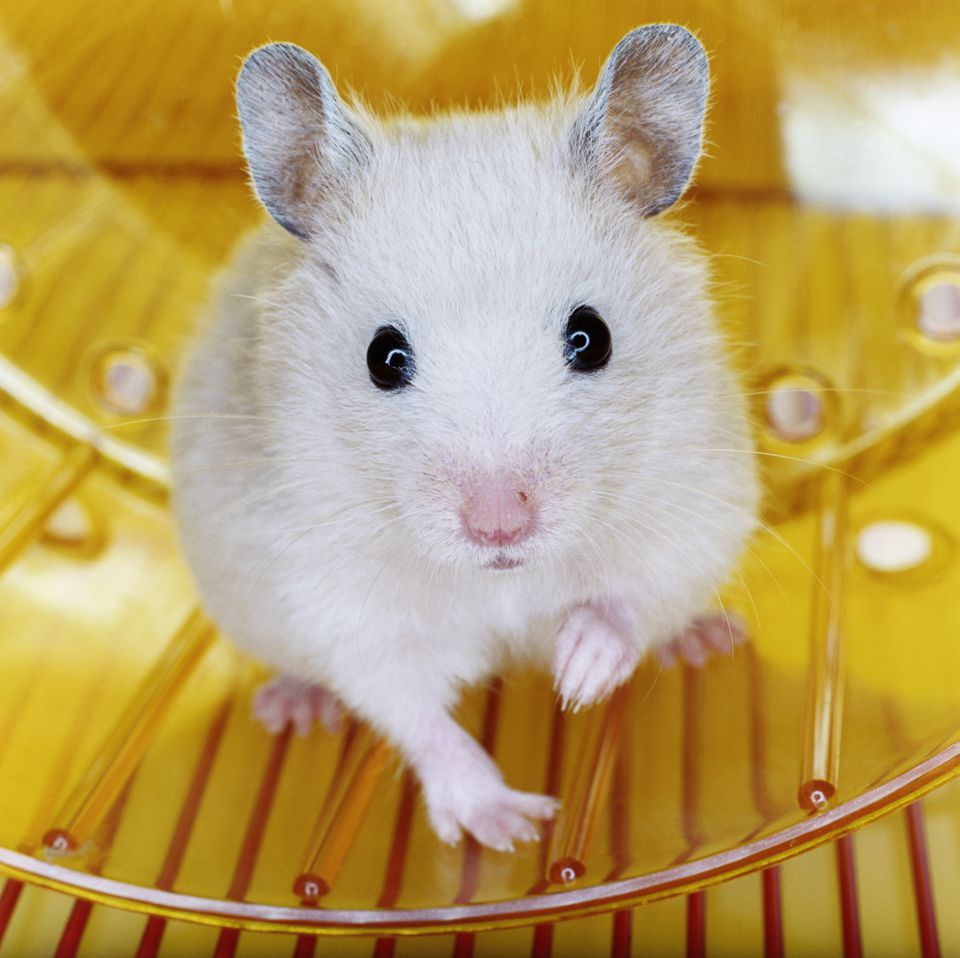 Hamster on wheel, portrait, close-up