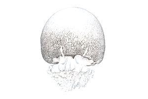 Illustration of Cannonball jellyfish (Stomolophus meleagris)
