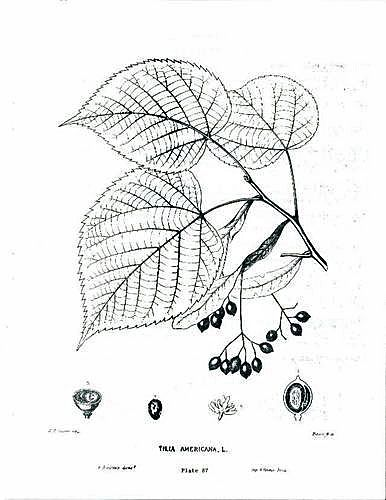 Common trees of the eastern united states american basswood tillia americana sciox Gallery