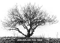 Fig Tree in Jerusalem, Destroyed by Locusts