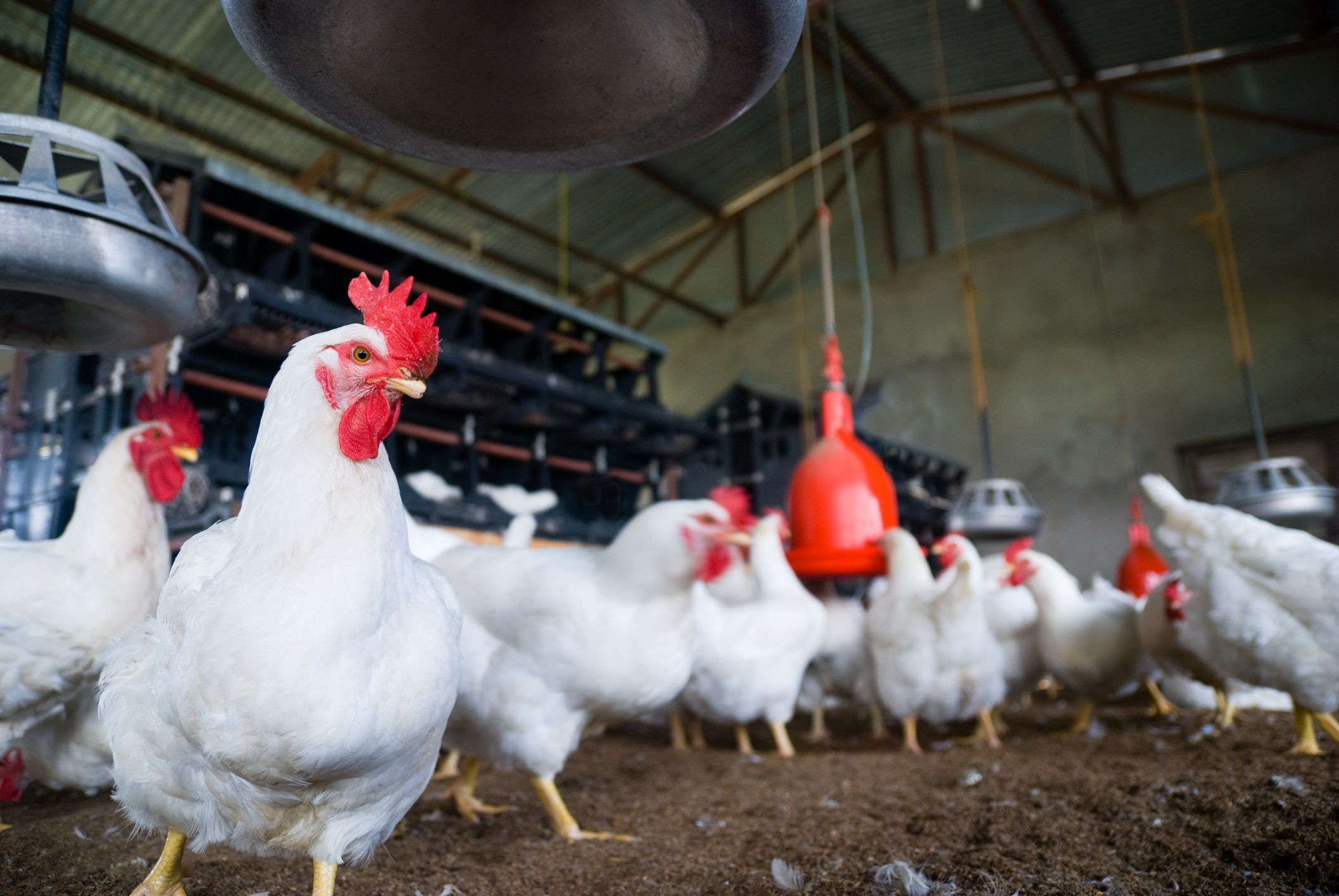 poultry farm We can not compare the poultry with goat/sheep farming both have their advantages and disadvantages poultry farming profits and goat farming profits depend on many factors such as: feed, climate, farm management practices, medical attention or v.