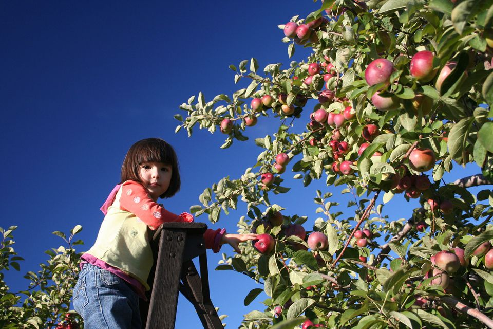 Montreal apple picking orchards don't exist. But orchards just outside of the city do.