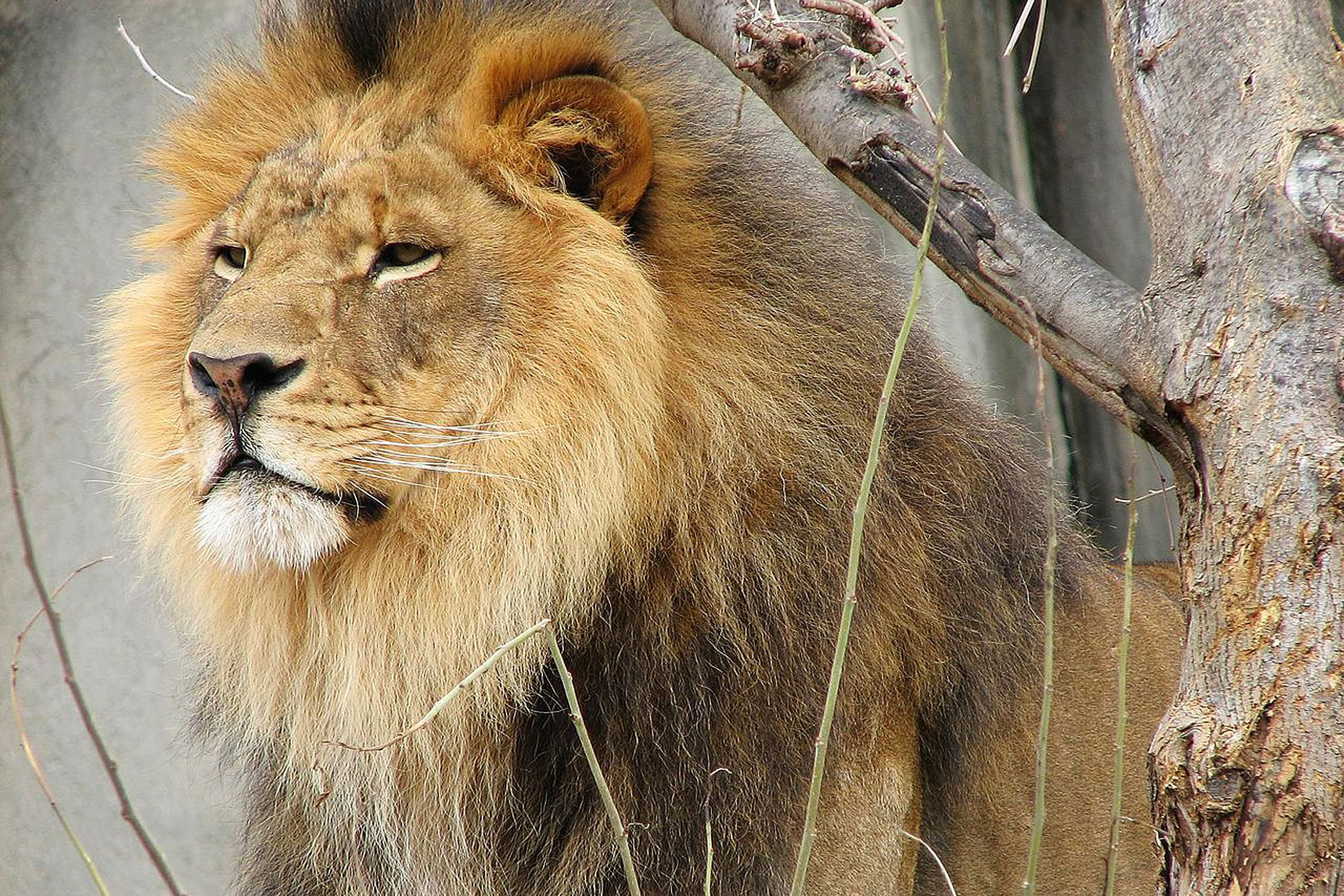 facts and figures about the cave lion