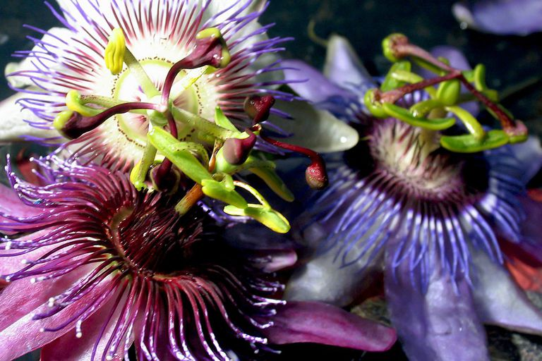 Close up of a gorgeous passion flower.