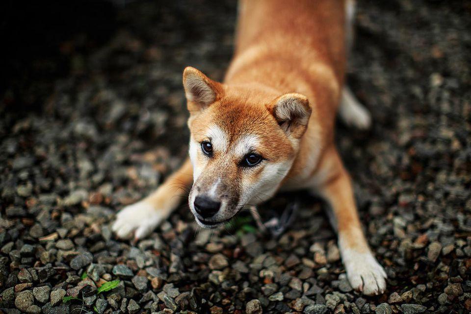 Playing Shiba mixed breed dog, at Japanese inn, Yagen, Aomori.