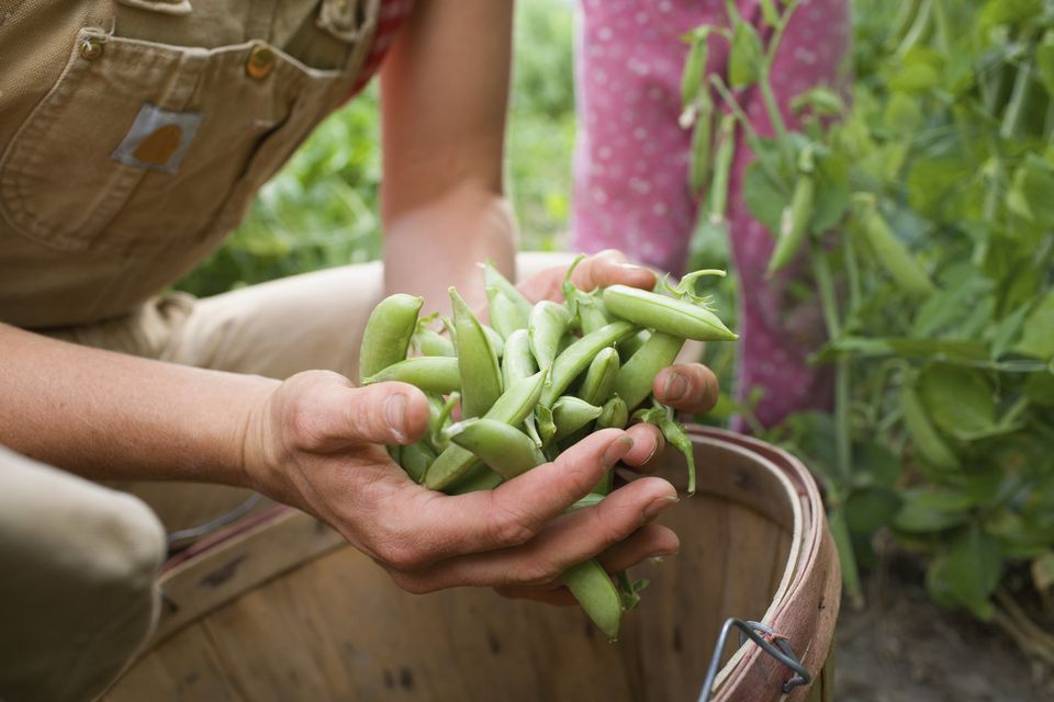 Freshly harvested green beans