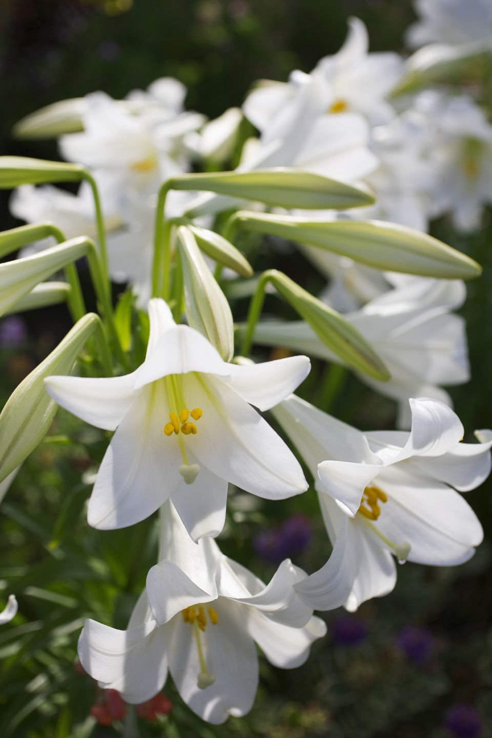 14 stunning lily varieties to plant easter lily izmirmasajfo Gallery