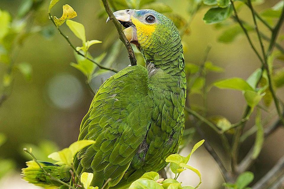 Amazona amazonica.