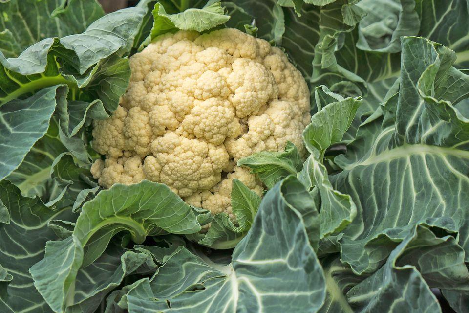Cauliflower Plant