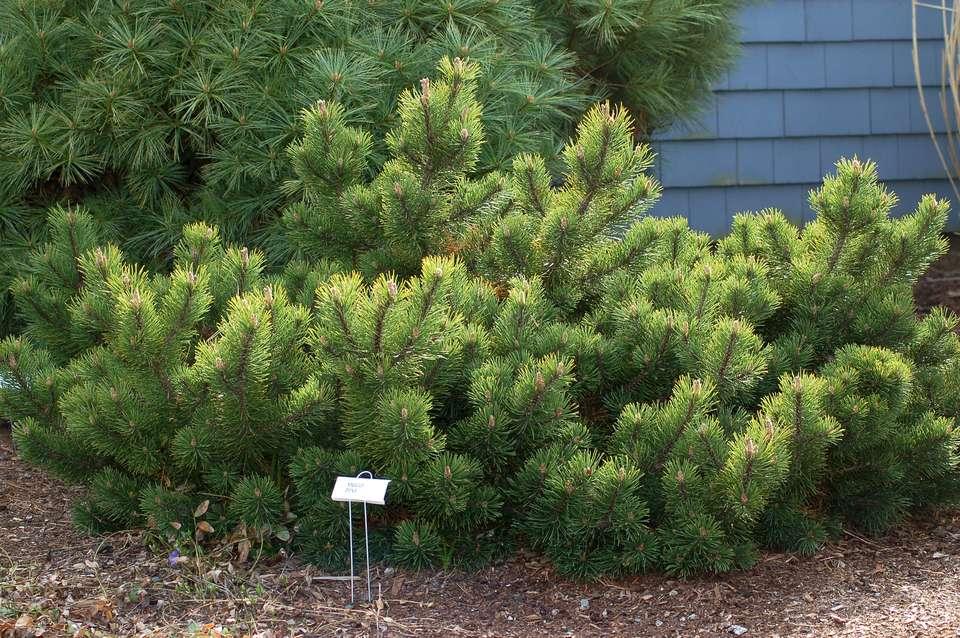 Mugo pine tree image