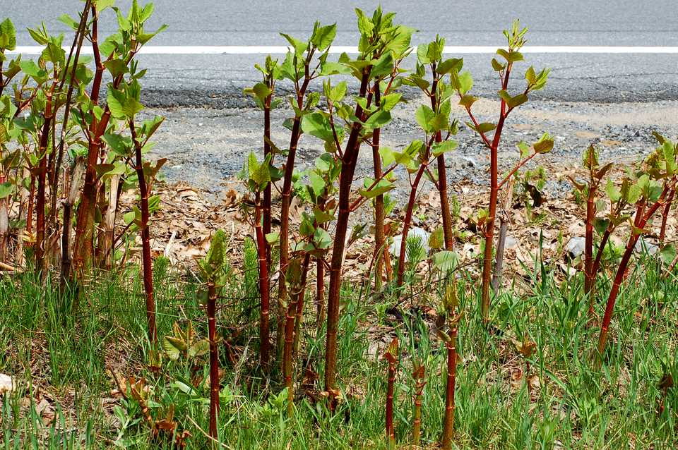 Japanese knotweed (image) is a Godzilla weed. You'll know why if you've ever tried to fight it.