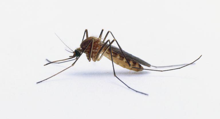 Female Mosquito (Culicidae)