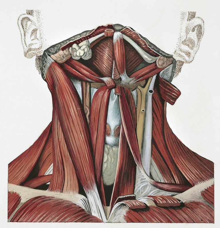 Diagram of neck flexion muscles and others.