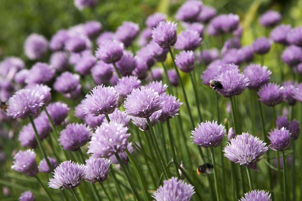 Flowers of Chives.