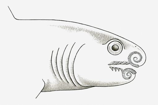 Black and white illustration of prehistoric Helicoprion shark with teeth spiralling up into its jaws, late Carboniferous to early Jurassic era