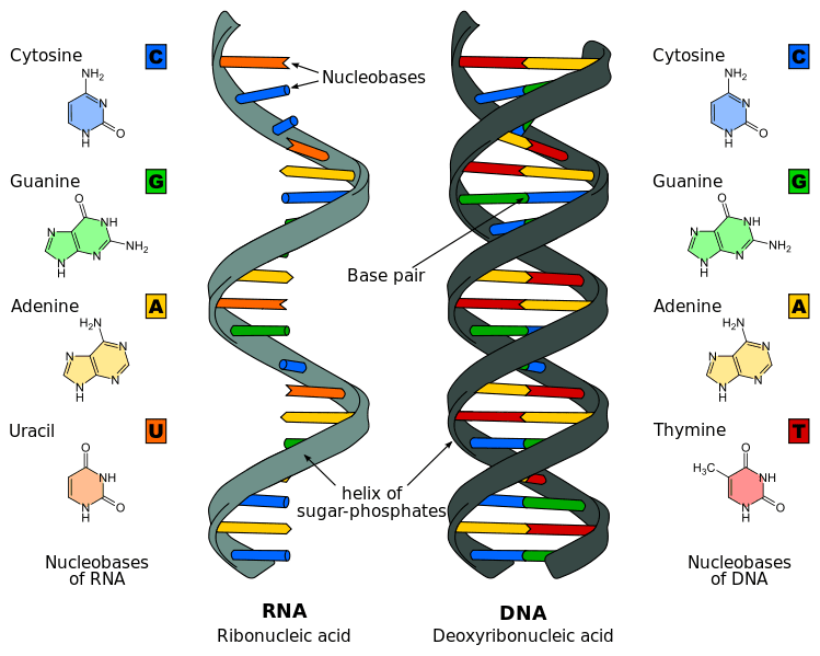 An introduction to dna transcription dna vs rna the cells carriers of genetic information ccuart Image collections
