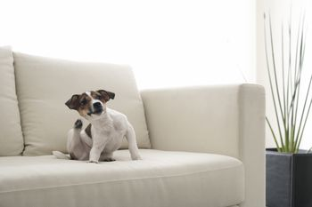 How to Treat Dog Dementia with Anipryl How to Treat Dog Dementia with Anipryl new picture