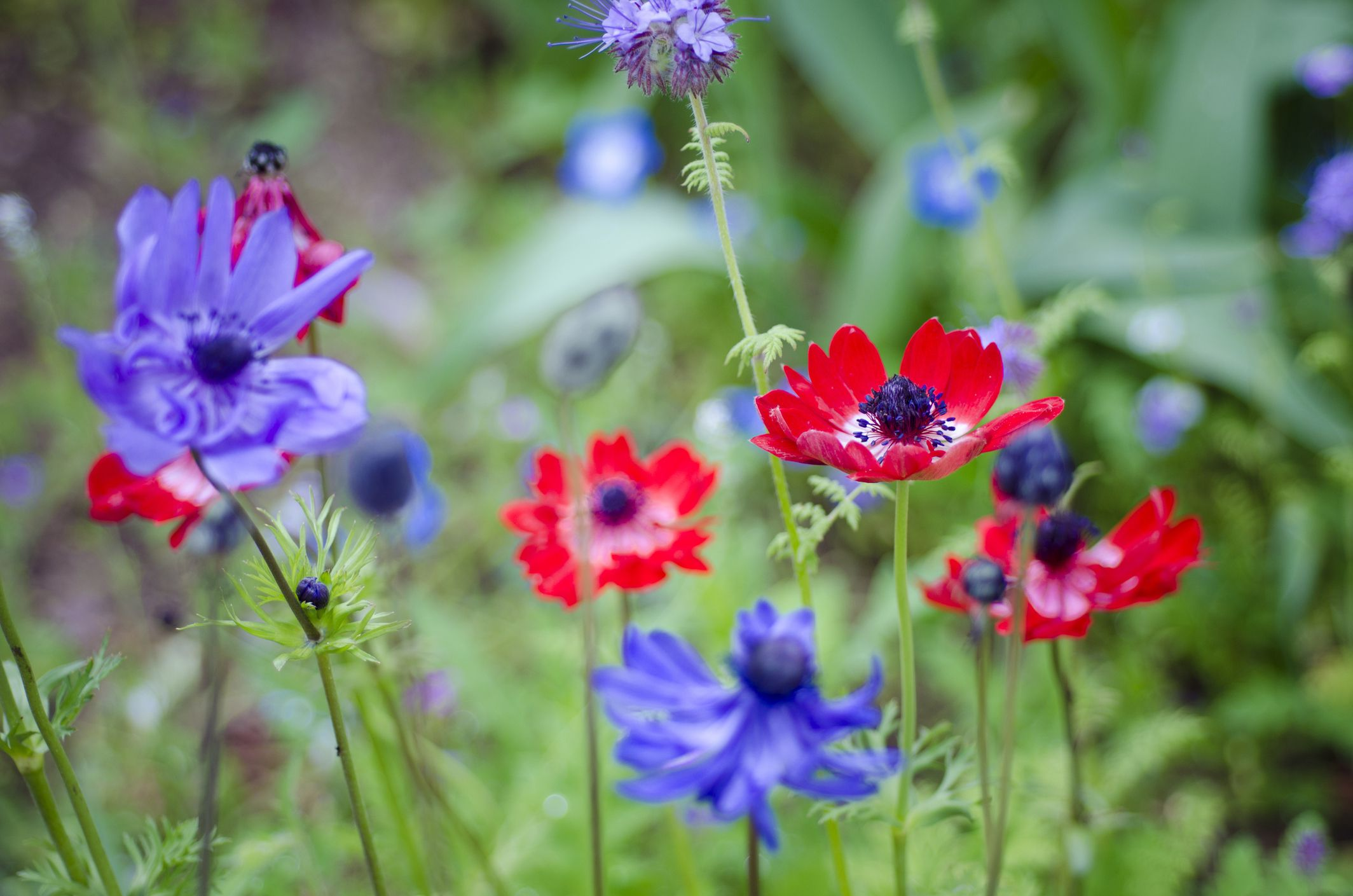 How to grow and care for anemone flowers - Anemone species caring color refinement ...