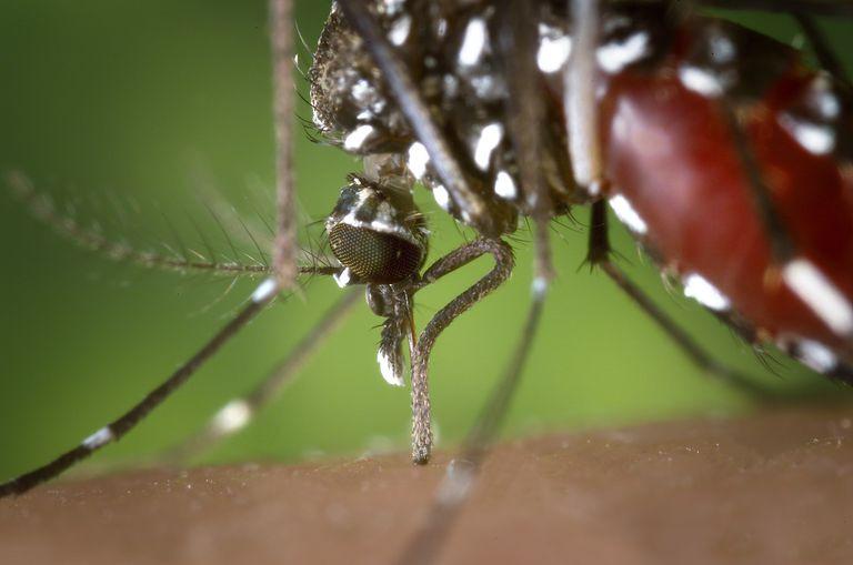 Aedes_albopictus_2.jpg