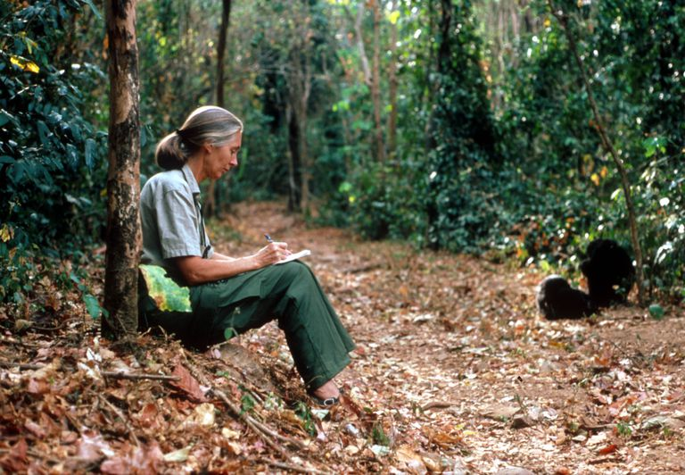 Scientist Jane Goodall studies the behavior of a chimpanzee during her research February 15, 1987 in Tanzania