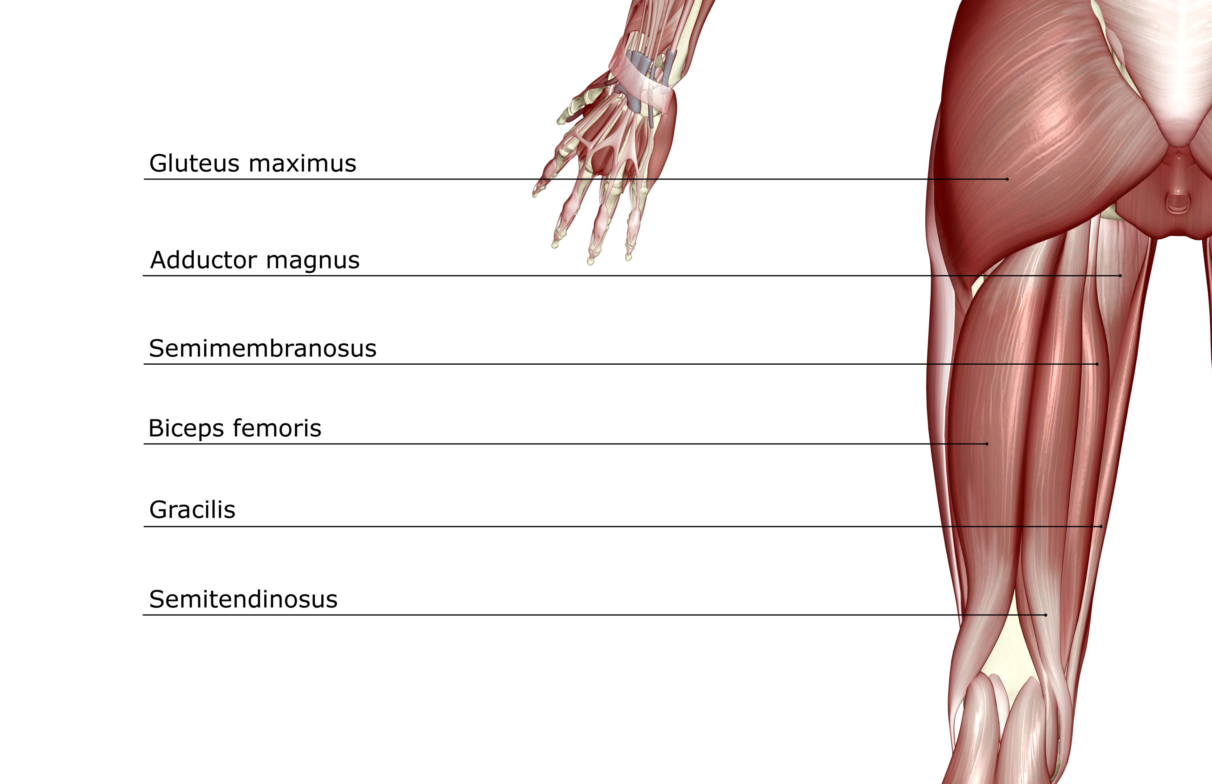 What are the Hamstring Muscles